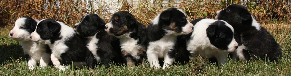 Storm Border Collies